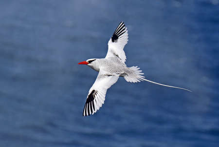 Red-billed Tropicbird, Phaethon aethereus, on the Galapagos islands, Ecuador. Flying high above the sea, showing long tail streamers.