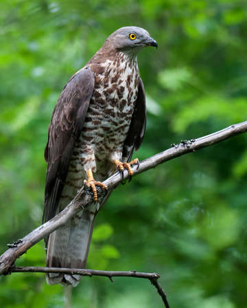 European Honey Buzzard (Pernis apivorus), adult male perched on a dry branch against green background