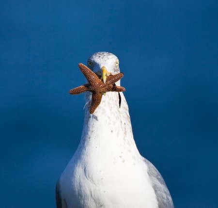 Adult European Herring Gull (Larus argentatus) carrying a starfish it its beak. Staring into the camera.