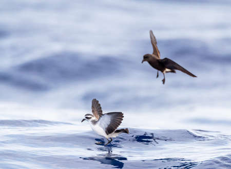 White-faced Storm Petrel (Pelagodroma marina) foraging on the Atlantic Ocean off the Madeira islands. Standing on the water like Jesus with Wilson's Storm Petrel in the background.