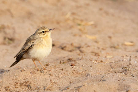 Adult Tawny Pipit (Anthus campestris) during spring migration in a citypark in Eilat, Israel.