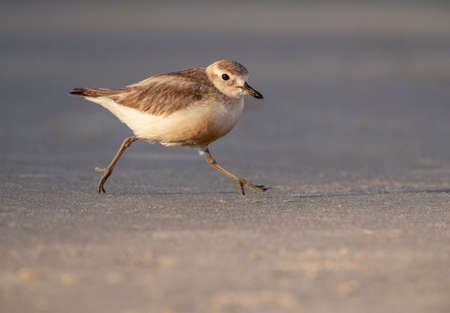 Adult New Zealand Dotterel (Charadrius obscurus) at the coast of North Island, New Zealand. Running on the beach of Tawharanui Penisnsula.