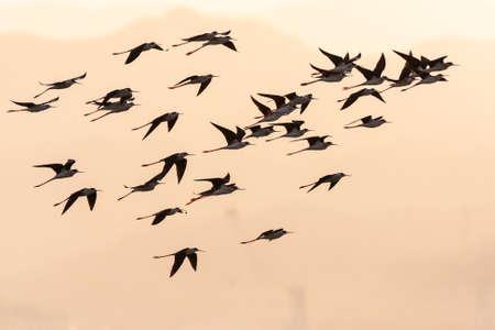 Flock of Black-winged Stilts (Himantopus himantopus) during spring migration at North Beach, Eilat, Israel.