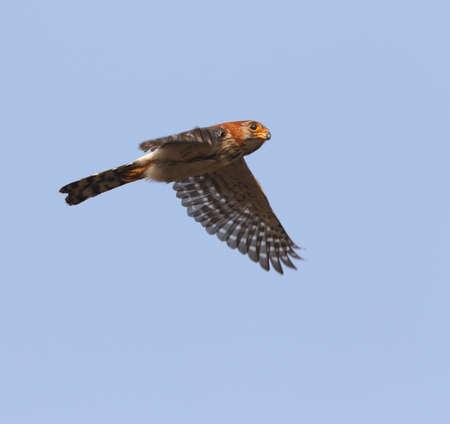 Adult White-rumped Falcon (Polihierax insignis) in flight in Myanmar.