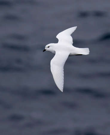 Snow Petrel (Pagodroma nivea) in Antarctica. They have the most southerly breeding sites of any bird, inland in Antarctica. Фото со стока