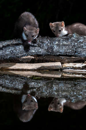 Beech Marten (Martes foina) during the night in Extremadura, Spain.