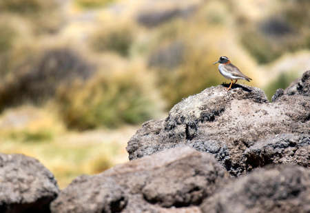 Diademed Sandpiper-Plover, Phegornis mitchellii, in Chile. In the habitat it prefers, mossy tundra, high-altitude grassland, bogs and swamps.