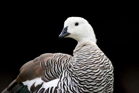 Upland Goose, Chloephaga picta, in southern Argentina.