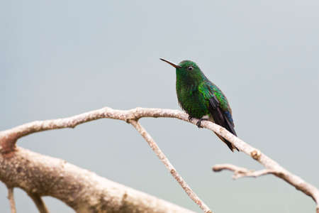 Blue-bellied Amazilia, Steely-vented Hummingbird, Amazilia saucerottei