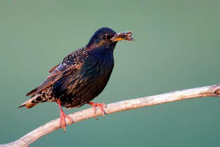 Starling sitting on branch with prey in beak; Common Starling perched on branch with prey in beak
