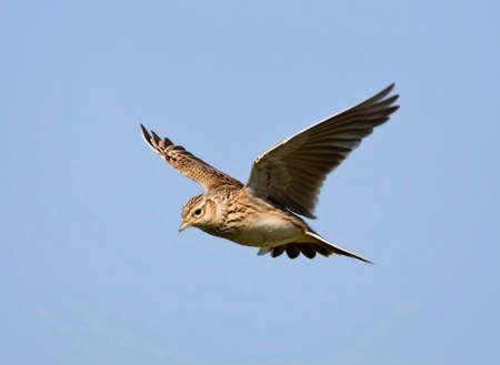 Skylark flying during courtship flight; Skylark flying during display flight