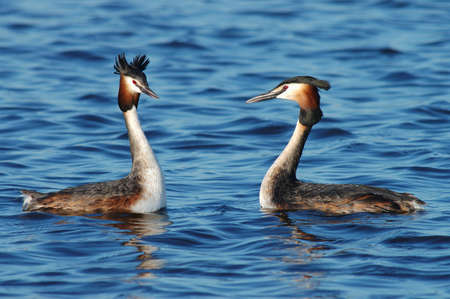 Great Crested Grebe courtship; Grebe courting