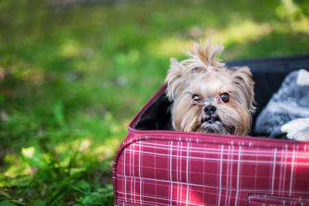 Yorkshire Terrier sitting into red suitcase. Selective focus photo