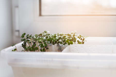 sprouted: Germinated sprouts in a tray on windowsill