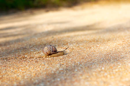 Hermaphrodite: Snail crawling forward on top of shallow shells