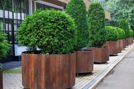 Row of green thuyas in brown tubs standing in park. Horizontal imagination
