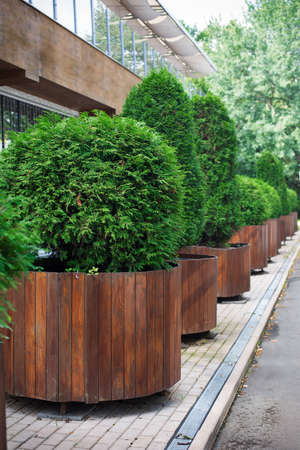 Row of green thuyas in brown tubs standing in park. Vertical imagination