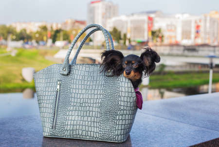 Black Russian Terrier sitting in a gray dog carrying bag that standing on gray stone parapet. Side view Banque d'images