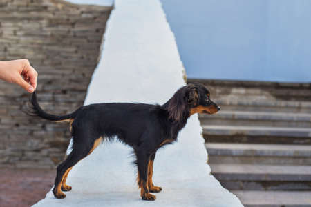 Hand holding tail of black russian terrier which standing on a white stone parapet and looking away. Side view