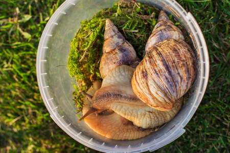 Two big snails sitting in a plastic container with moss