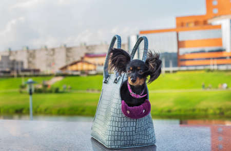 Black Russian Terrier sitting in a gray dog carrying bag that standing on gray stone parapet