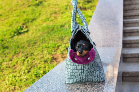 Black Russian Terrier sitting in a gray dog carrying bag on a stone parapet Banque d'images