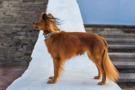 Red russian terrier with blue  leash standing on a white stone parapet and looking away. Side view