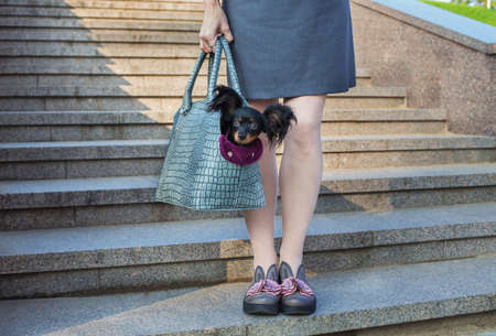 Black Russian Terrier sitting in a gray dog carrying bag that holding light-skinned woman Banque d'images
