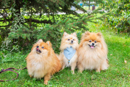 Three red shaggy Pomeranian's sitting on green grass under spruce in park and looking in different directions Banque d'images