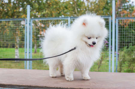 White shaggy Pomeranian standing on brown board and looking away at dog walking area