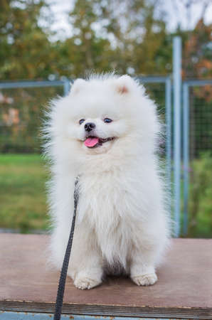 White shaggy Pomeranian sitting on brown board at dog walking area and looking away