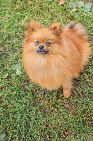 Red Pomeranian sitting on green grass and looking up at camera Banque d'images