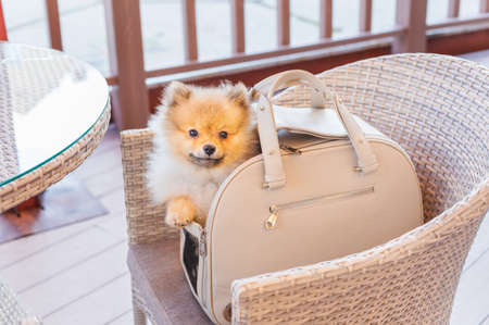 Red Pomeranian sitting in beige dog carrying bag on veranda of cafe with rattan furniture