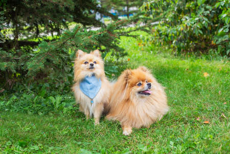 Two red shaggy Pomeranian's sitting on green grass under spruce in park and looking away and up Banque d'images
