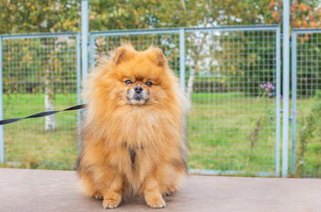 Red shaggy Pomeranian sitting on brown board at dog walking area and looking at camera