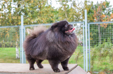 Black Pomeranian standing on brown board with opened mouth and looking away at dog walking area