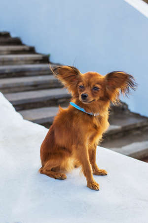 Red russian terrier with blue  leash sitting on a white stone parapet and looking away. Side view