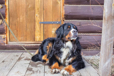 Bernese mountain dog lying on leash near wooden rustic door and looking away Banque d'images