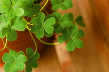 Shamrock in clay garden pot Stock Photo