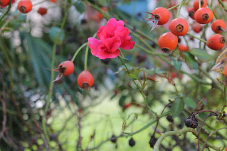 autumn rose flower and seeds photo