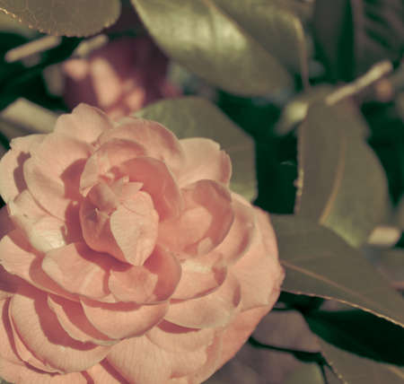 rose photo: Pink rose photo retro revival.
