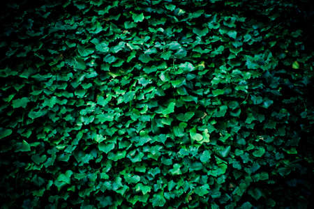 ivy wall: Dark background with ivy vine. Stock Photo