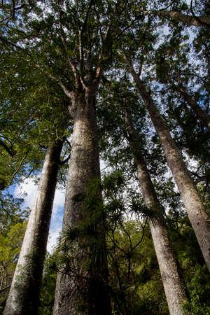 Kauri Forest New Zealand