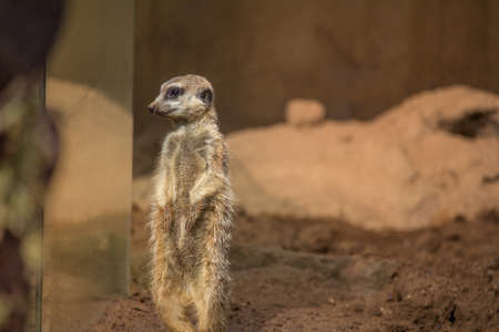 Meerkat Standing Looking through Glass at Visitors Horizontal with Copy Space