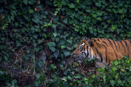 panthera tigris sumatrae: Sumatran Tiger Pacing Through Leaves Horizontal with Copy Space Stock Photo