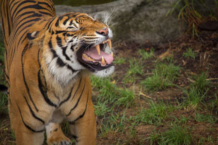 Sumatran Tiger Baring his Teeth Horizontal with Copy Space