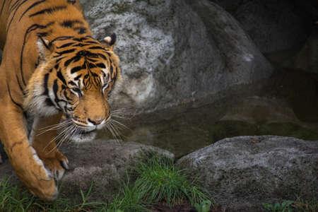 Close Up Of Sumatran Tigers Face Horizontal with Copy Space
