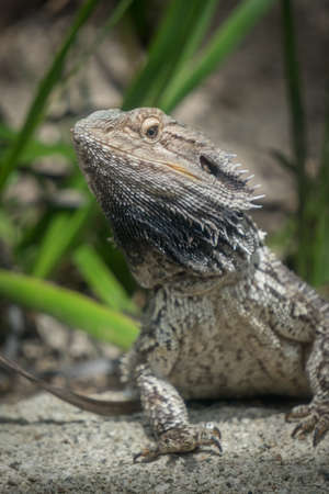 Bearded Dragon Posing for Viewer Vertical Selective Focus