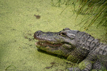 Close Up Alligator on Lake Side Hiding in Pond Weed with Its Mouth Open Horizontal Reklamní fotografie