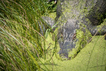 Close Up of Alligator Hiding in Pond Weed on Side of Lake in Tall Grass Horizontal